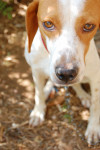 Istrian Shorthaired Hound picture