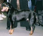 Smaland Hound picture