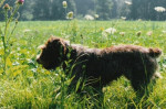 Photo chienne Drahthaar adulte de 6 ans - German Wirehaired Pointer (6 years)