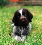 Photo chiot Drahthaar - German Wirehaired Pointer