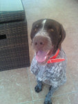Cool - Male German Wirehaired Pointer (4 months)