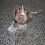 German Roughhaired Pointer picture
