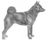 Chien d'Elan Norvégien Noir - Black Norwegian Elkhound