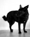 Laika - Black Norwegian Elkhound (10 years)