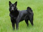 Black Norwegian Elkhound picture