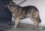 Chien de Berger Roumain des Carpathes - Carpathian Shepherd Dog