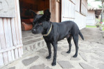 Formosan Mountain Dog picture