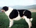Ciobanesc Romanesc de Bucovina - Bucovina Shepherd Dog