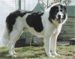 Bucovina Shepherd Dog picture