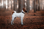Smooth Fox Terrier picture