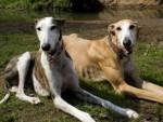 Zeus et Shiraya....Pourquoi ? :( - Spanish greyhound