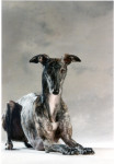 Kenya - Spanish greyhound