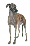 Spanish greyhound picture