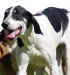 Great Anglo-Francais White and Black Hound picture