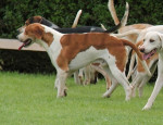 Great Anglo-Francais White and Orange Hound picture