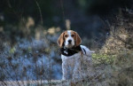 Great Anglo-French Tricolour Hound picture