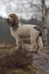 Grand basset griffon vendéen picture
