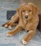Albator - Male Toller (10 months)