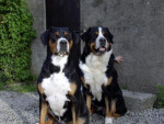 grand bouvier suisse - Greater Swiss Mountain Dog