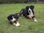 ARI Grand Bouvier Suisse - Greater Swiss Mountain Dog