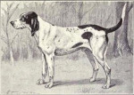Great Virelade Hound picture