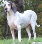 Small Virelade Hound picture