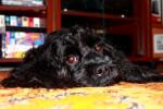 Boulet Griffon picture