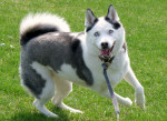 Canadian Eskimo Dog picture