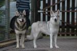Inuit du Nord - Northern Inuit Dog
