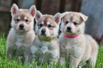 chiots - Northern Inuit Dog