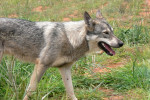 Northern Inuit Dog picture