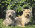 Irish Glen of Imaal Terrier - Irish Glen of Imaal Terrier