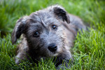 Irish Glen of Imaal Terrier picture