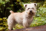 Wheaten - Male Irish Glen of Imaal Terrier