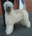Irish Soft Coated Wheaten Terrier picture