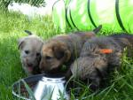 la portée de 2017 - Male Irish Soft Coated Wheaten Terrier