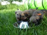 la portée de 2017 - Male Irish Soft Coated Wheaten Terrier (1 month)