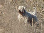 Gary, notre étalon - Male Irish Soft Coated Wheaten Terrier (7 years and 7 months)
