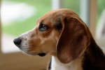 Kerry Beagle picture