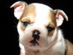 Fudge - Male Old English Bulldog (1 month)