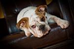 Jazz - Male Old English Bulldog