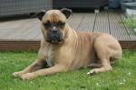Loeb - Male Old English Bulldog