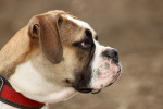 Old English Bulldog picture
