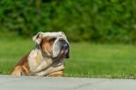 Old English Bulldog picture