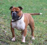 Male Olde English Bulldogge picture