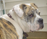 Olde English Bulldogge picture