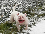 Athéna - Olde English Bulldogge (5 years)