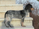 Petit Chien Courant Suisse - Small Swiss Hound