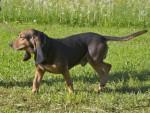 petit courant jura - Small Swiss Hound