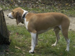 petit courant schwyzois - Small Swiss Hound